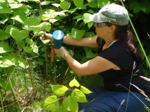 Jennifer Grenz of Invasive Species Council of BC administering a stem injection of knotweed