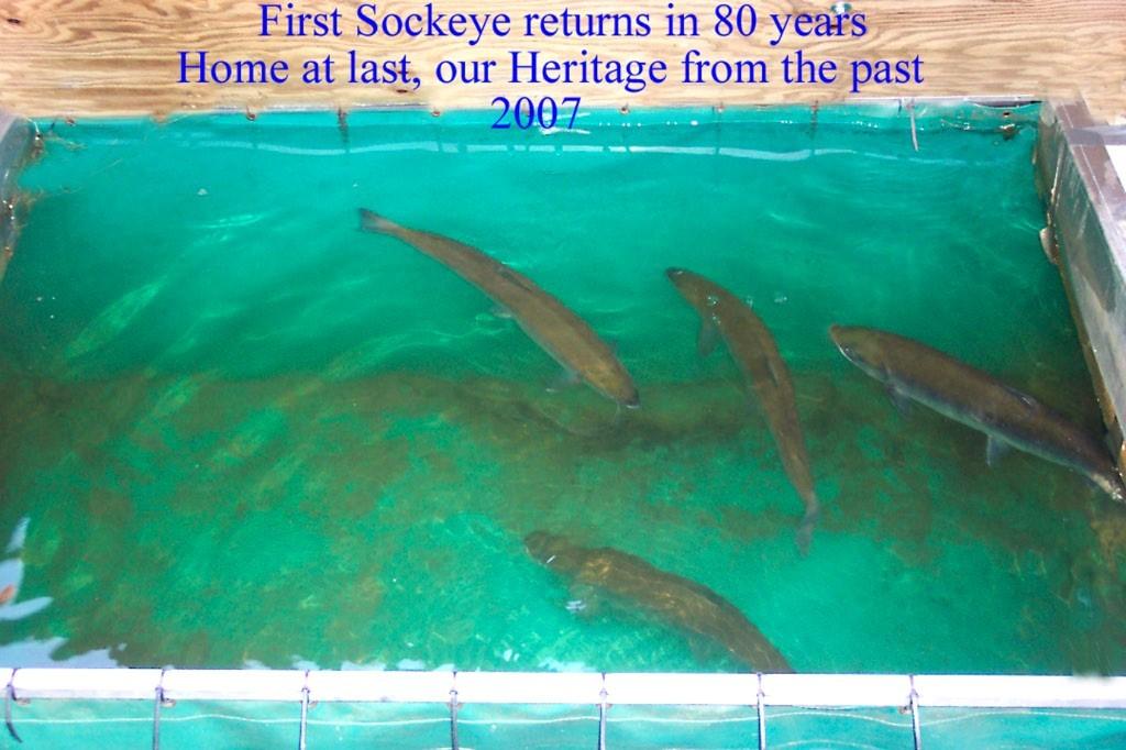 First Sockeye return in 80 years -2007